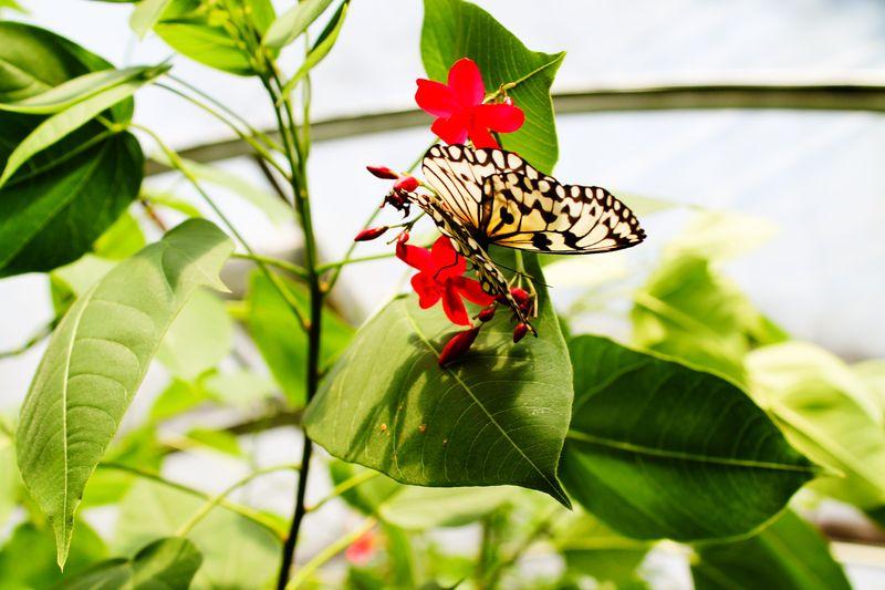 Butterfly Lolo