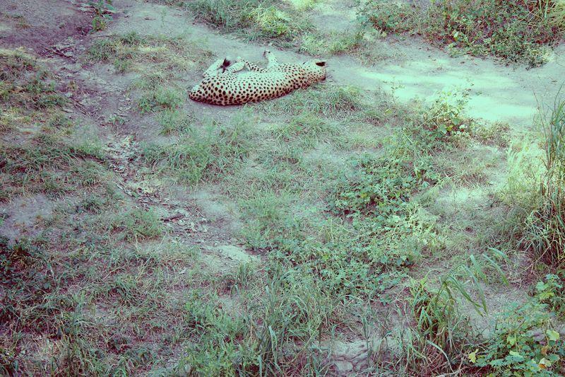 Leopard 1983