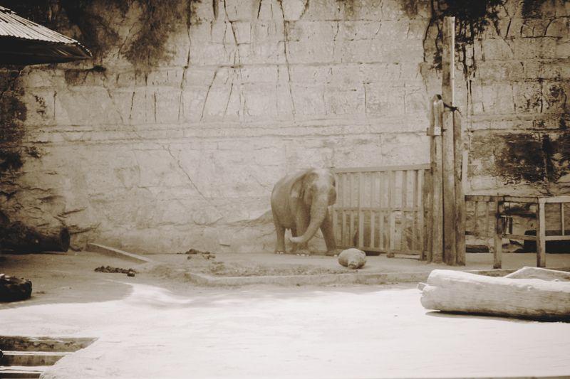 Elephant Italiano