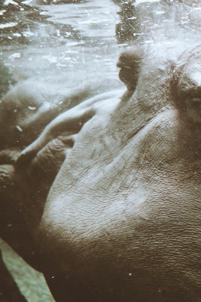 Hippo 1974