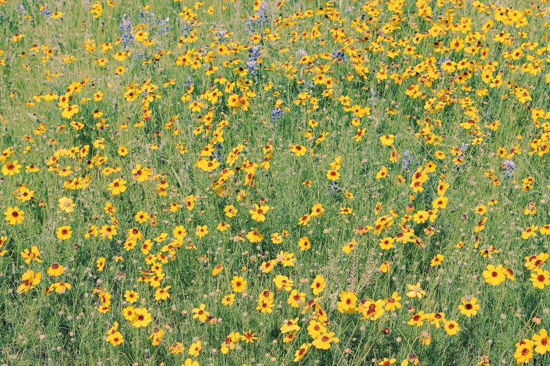 Field of Yellow Flowers